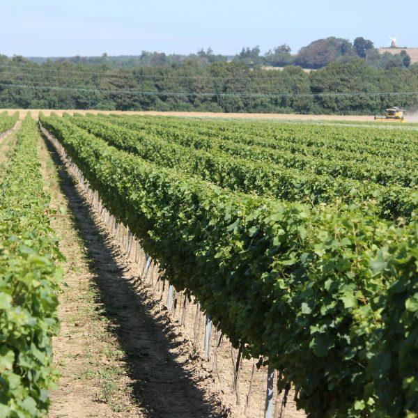 Rows of vines at Tinwood Vineyard